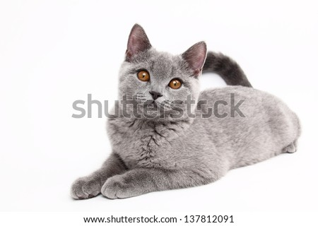 image of funny young british cat