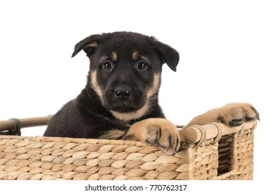 image of german shepherd puppy in basket isolated on white