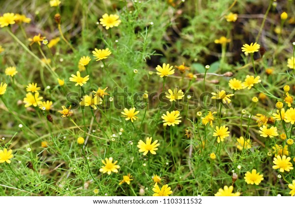 An image of Gold carpet or Dahlberg daisy flowers in sunlight