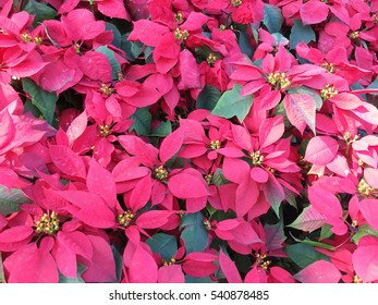 Image of gorgeous poinsettia