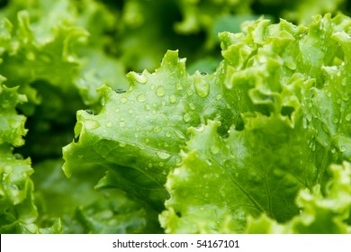 An image of green leaves of lettuce