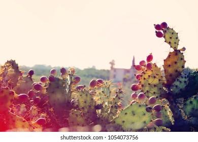 image of green sabras cactus