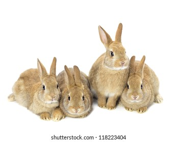 Image of a group of young golden rabbits sitting on white background.