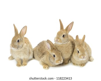 Image of a group of young golden rabbits sitting against white background.