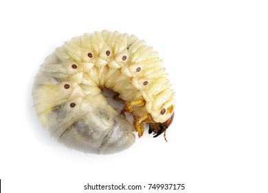 Image of grub worms, Coconut rhinoceros beetle (Oryctes rhinoceros), Larva on white background.