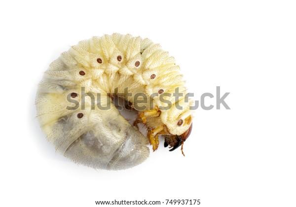 Image Grub Worms Coconut Rhinoceros Beetle Stock Photo Edit Now