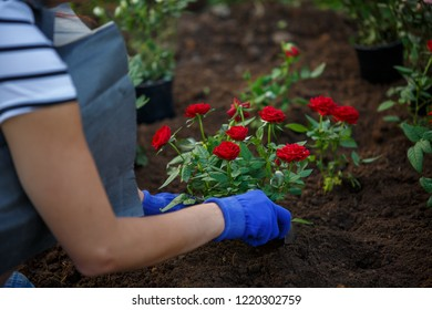 Image of hands in blue gloves of agronomist planting red roses in garden