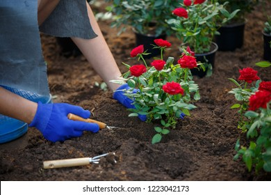 Image of hands in rubber gloves of agronomist planting red roses in garden