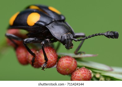 image of a handsome fungus beetle