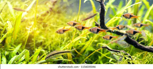 image of The harlequin rasbora fish in aquarium tank with a variety of aquatic plants inside by nature style concept.