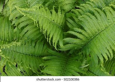 An image of a healthy green Boston fern plant.