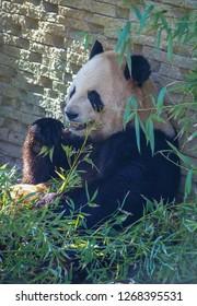 Image of hungry giant black and white panda bear eating bamboo
