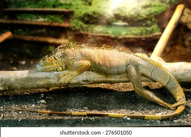 Image iguanas who sleeps on a thick branch