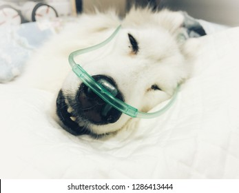 Image of ill siberian husky dog sleeping in white bed with oxygen therapy by green nasal prong, coma dog, pet hospital