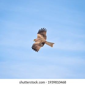 Image of Indian Eagle Flying In Sky
