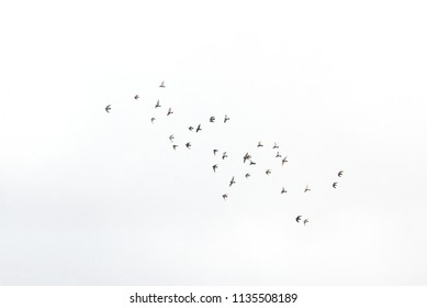 An image of an isolated pigeons flock on the fly
