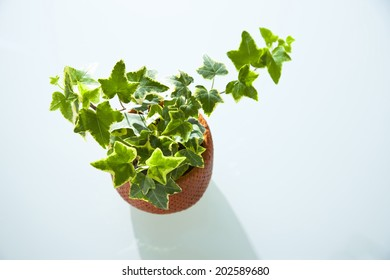 An Image of Ivy
