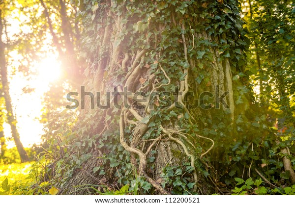 An image of ivy-clad tree