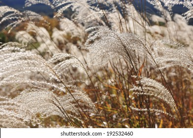 An image of Japanese silver grass