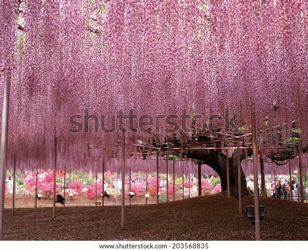 An Image of Japanese Wisteria Tree