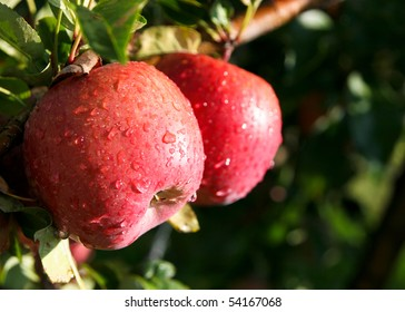 An image of juicy wet red apples on the tree