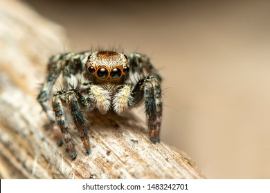 Image of jumping spiders (Salticidae) on a natural background., Insect. Animal.