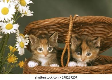 An Image of Kitten