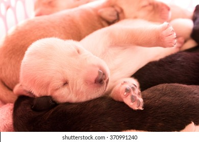 Image of Labrador Retriever Puppy with Sleeping