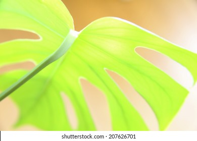 An image of Leaf Of Monstera
