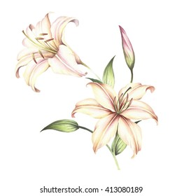 The image of a lilies.Watercolor illustration.