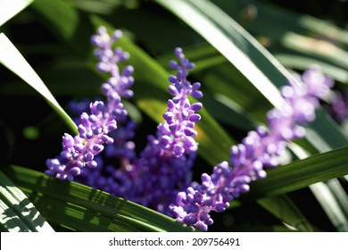 An Image of Liriope Muscari