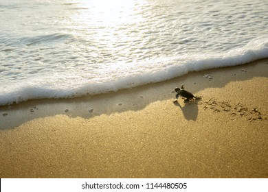 Image of little sea turtles crawling on the sand beach toward the sea at Pangumbahan beach, Sukabumi, West Java