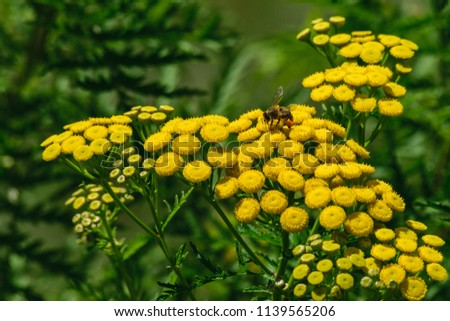 An image of a lone bee collecting pollen from bright yellow flowers surrounded by deep green ferns.