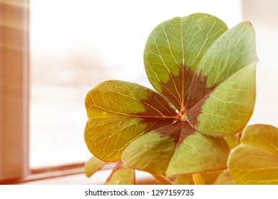 Image of lucky clover in a flowerpot on a window with sunbeams