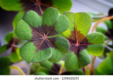Image of lucky clover in a flowerpot on a window
