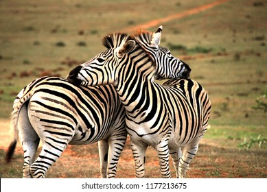 An image to make you smile.  Two Zebras showing affection by rest their heads on one anothers rumps.  A great background or backdrop.