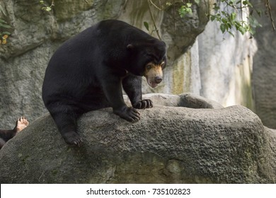 Image of a malayan sun bear relax on the rocks. Wild Animals.