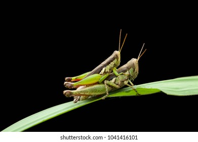 Image of male and female green grasshoppers mating on a green leaf, Locust, insect, animal,