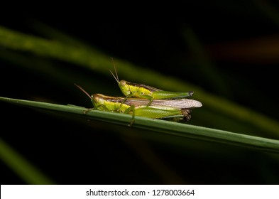 Image of male and female green grasshoppers mating on a green leaf, Locust, insect. Selective focus.