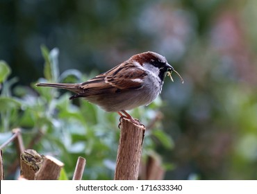 An Image Of A Male House Sparrow Building His Nest