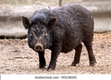 image mammal pet pig in a black enclosure
