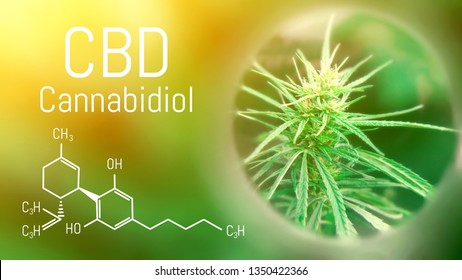 Image of medicinal cannabis with an oil extract of the formula CBD cannabidiol. Growing high quality marijuana for the production of hemp antioxidants