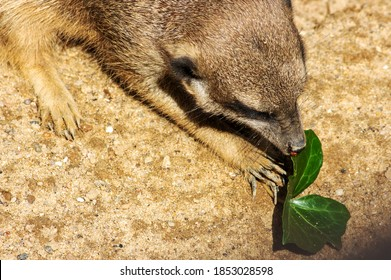 Image of a meerkat curiously examining a leaf, Suricata suricatta