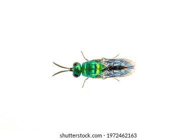 Image of metallic cuckoo wasp(Chrysididae) isolated on white background. Insect. Animal.