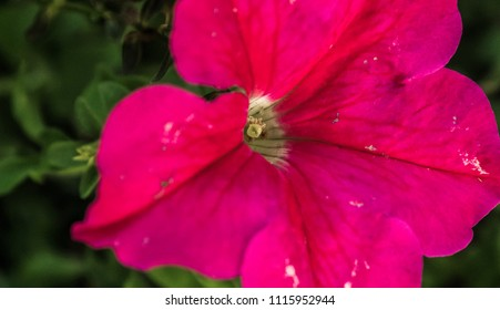 Image of Mexican Petunia