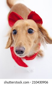 An Image of The Miniature Dachshund