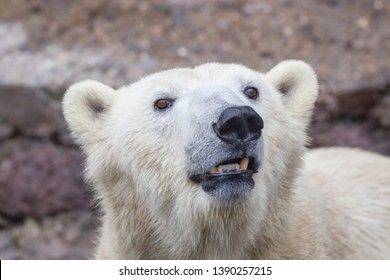 image of the muzzle of a wild animal polar bear