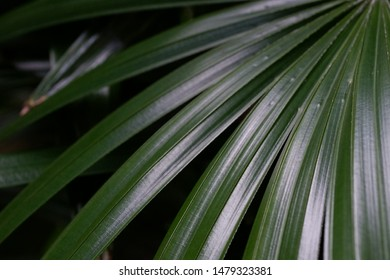 Image of natural waxy green Broadleaf Lady Palm leaf on dark background.This plant is one of popular pot plant for office or mall because it can grow in the low light place.
