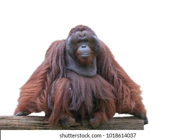 image orangutan isolated over white background