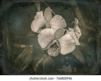 Image of an orchid plant, daguerreotype styled.